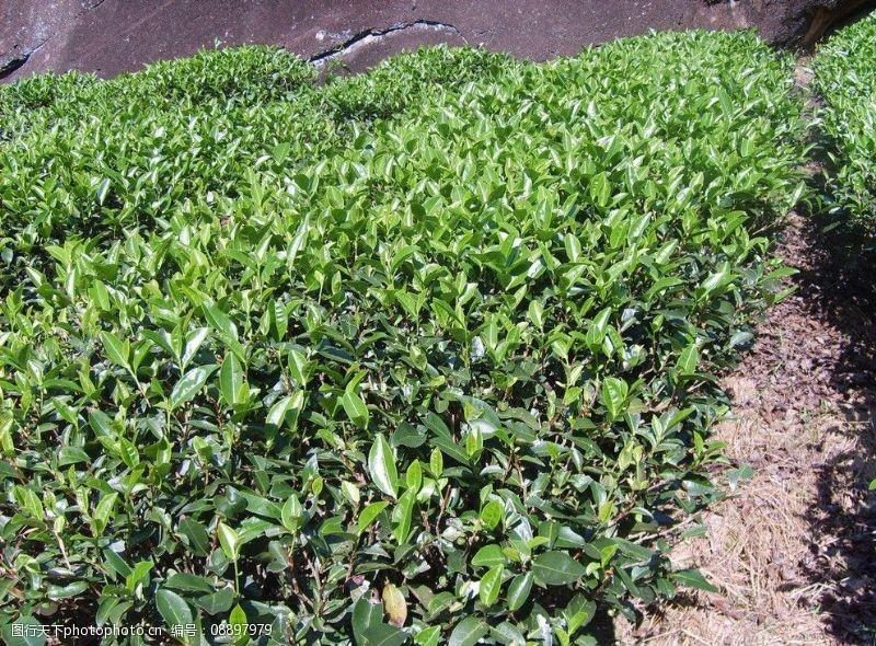 马头岩大红袍茶园图片
