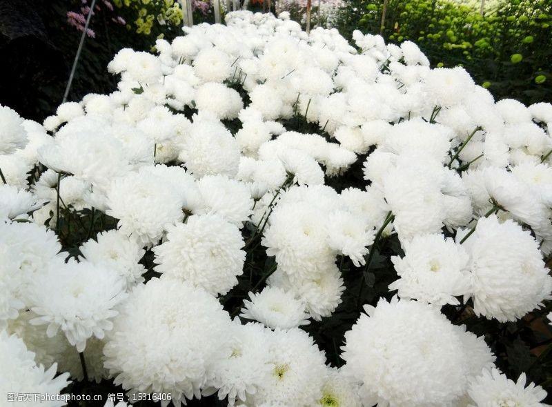 陶之艺菊花图片
