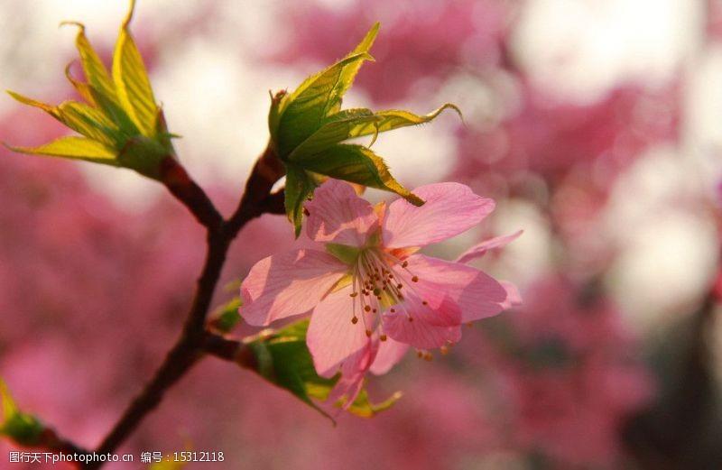 落樱缤纷樱花图片
