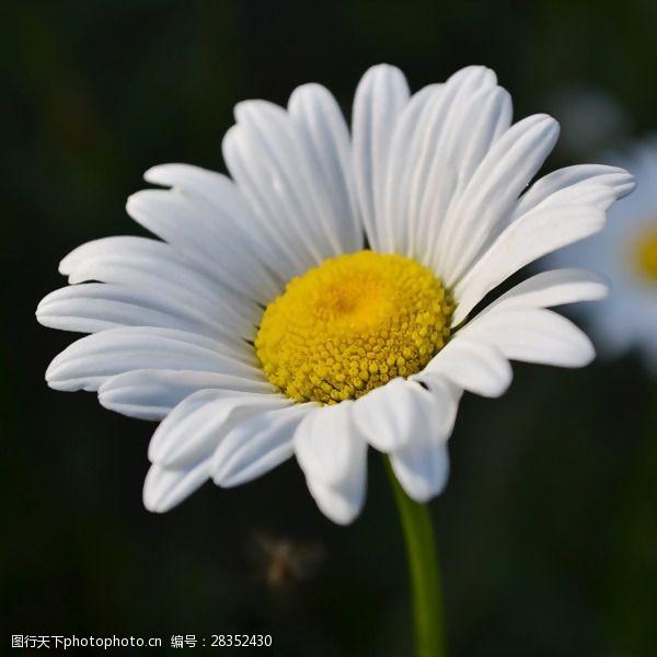 面料图库位图植物摄影写实花卉花朵菊花免费素材