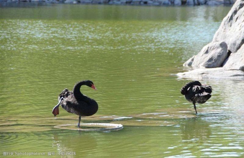 湖水情侣黑天鹅图片